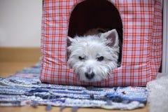 Westie i hennes hus Arkivbilder
