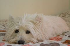 Westie im Bett lizenzfreies stockfoto