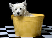 Free Westie In A Bucket Royalty Free Stock Photos - 251348