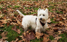 Westie between the leaves Royalty Free Stock Photography