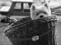 Westie lindo en cesta de la bici Fotos de archivo