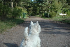 Westie in nature. West highland white terrier in nature Royalty Free Stock Images