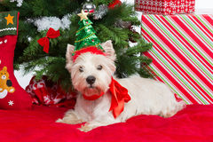 Westie with new year tree Royalty Free Stock Photos