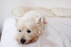 Westie op een wit bed Stock Afbeeldingen