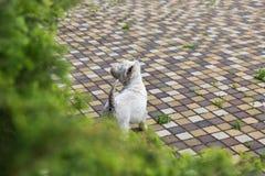 Westie pies na brukowej płytce Fotografia Royalty Free