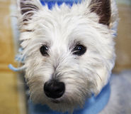 Westie portait, strict close up Royalty Free Stock Photos