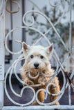 Westie psa stojak za ogrodzeniem Fotografia Stock