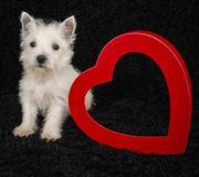 Westie Puppy Stock Image