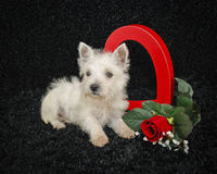 Westie Puppy Stock Photos