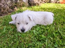 Westie puppy: baby west highland white terrier dog on grass lawn royalty free stock image