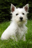 Westie puppy on grass Stock Photography
