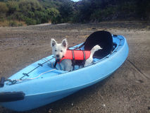 Westie puppy in kayak with lifejacket or life vest. West highland white terrier westie puppy in a blue kayak, wearing a lifejacket or life vest. Photographed in Royalty Free Stock Photo