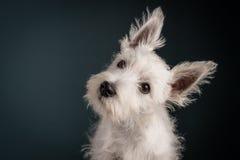 Westie Puppy Portrait Stock Photo