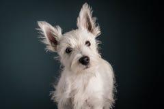 Westie Puppy Portrait Royalty Free Stock Image
