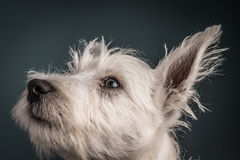 Westie Puppy Portrait Royalty Free Stock Photo