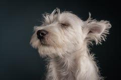 Westie Puppy Portrait Royalty Free Stock Photos