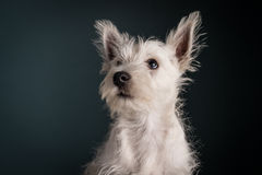 Westie Puppy Portrait Royalty Free Stock Photography