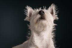 Westie Puppy Portrait Stock Photos