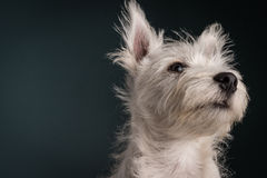 Westie Puppy Portrait Stock Photography