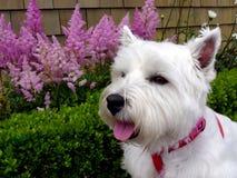 Westie que presenta por las flores Foto de archivo libre de regalías