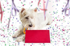 Westie red Carnival post card. West highland white terrier on Carnival background looking at red post card Stock Photo