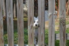 Westie regardant par la barrière Image stock