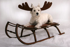 Westie Reindeer. West Highland Terrier wearing reindeer antlers and sitting on antique snow sled Stock Photo
