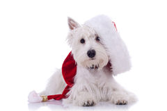 Westie santa Stock Photography