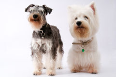 Westie and schnauzer Stock Image