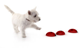 Westie and some 3d lady bugs. Westie terrier playing with some 3d lady bugs over white Stock Images