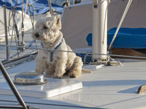 Westie sur le bateau à voile Photos stock