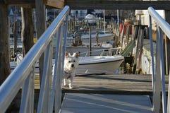 Westie sur le dock de bateau Image stock