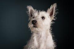 Westie szczeniaka portret Fotografia Royalty Free