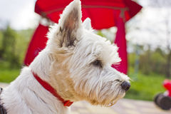 Westie terrier Stock Photography