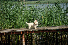 Westie terrier Stock Images