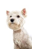 Westie terrier portrait Stock Image