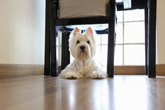 Westie under the chair with light background Royalty Free Stock Image