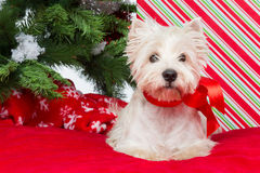 Westie unter Baum des neuen Jahres Lizenzfreies Stockfoto