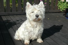 Westie at veranda front. West highland white terrier at veranda Royalty Free Stock Photo
