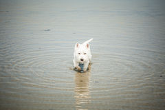 Westie in water. West highland white terrier walking in the sea Stock Photography