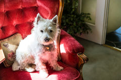Westie. West Highland Terrier posing for photo Stock Image