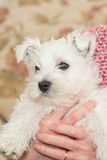 Westie, West Highland White Puppy Royalty Free Stock Photography