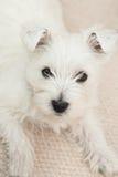 Westie, West Highland White Puppy Stock Image