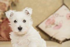 Westie, West Highland White Puppy Royalty Free Stock Photo