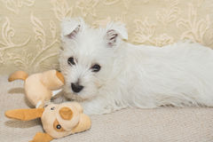 Westie, West Highland White Puppy Stock Images