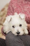 Westie, West Highland White Puppy Royalty Free Stock Images