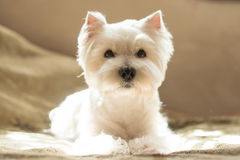 Westie Royalty Free Stock Images