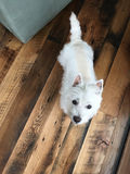 Westie_WhiteDogOnWoodFloorLookingUp_LajlaJane Stock Photo