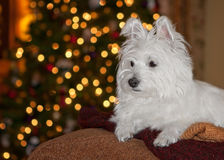 A westies christmas - cute Royalty Free Stock Image