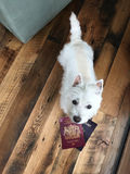 WestieWhiteDogOnWoodFloorLookingUpWithPassports_LajlaJane. Westie West Highland Terrier white dog on wood floor looking up with English and American passports in Royalty Free Stock Images